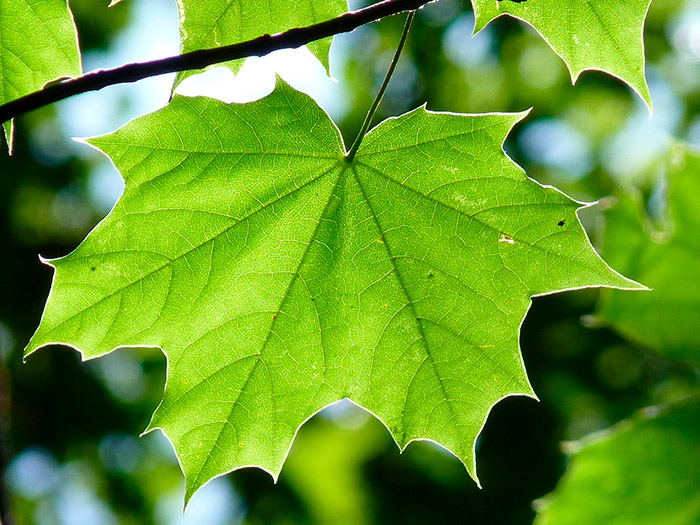 Лист клена – для примера создания своей кисти в Фотошопе
